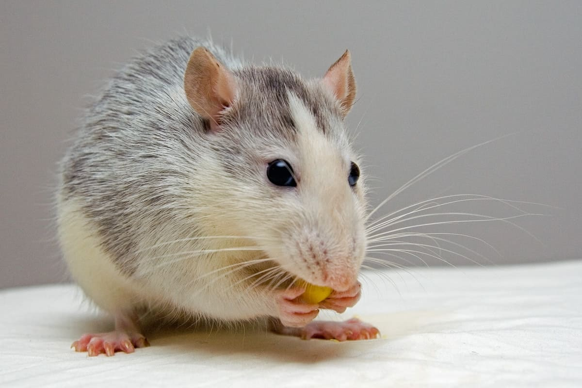 5 Diseases Common Household Mice Carry